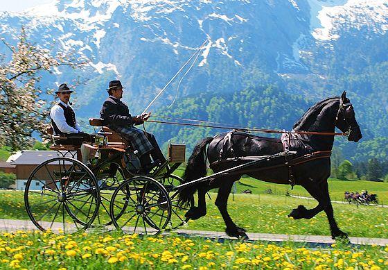 Abtenauer carriage horse