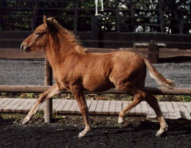 Aegidienberger foal with natural Tolt gait
