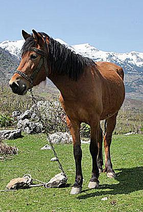 Albanian Plains Horse