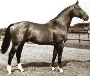 Anglo-Norman stallion Almé Z