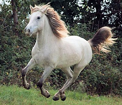 Camargue stallion