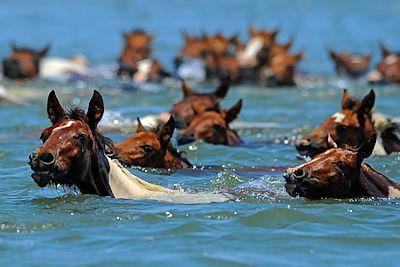 Chincoteague Pony Swim