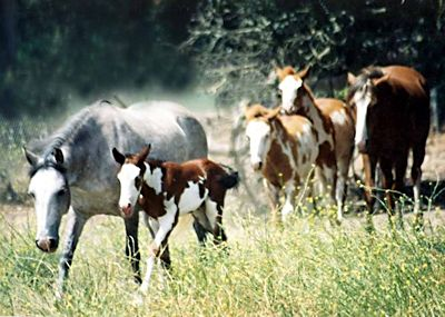 Wilbur Cruce Mission Horse Herd