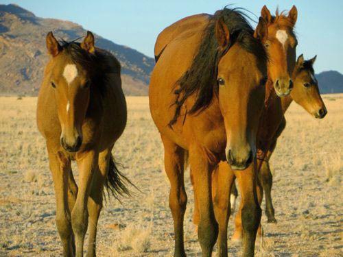 Namib horse herd