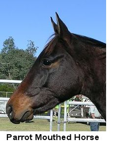 Parrot Mouthed Horse
