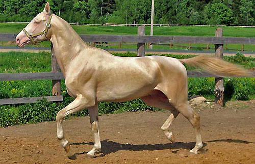Akhal-Teke showing natural coat sheen