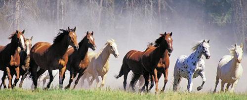 Albanian horse herd