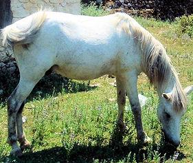 Albanian Mountain Horse