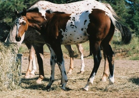 Pintaloosa Mustang from Wyoming