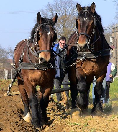 Picture of Ardenne heavy draft horses