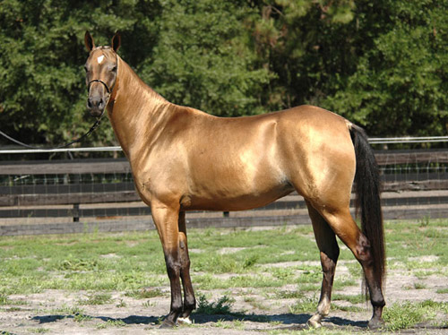 Buckskins and palominos are the dominant colors in the Akhal-Teke