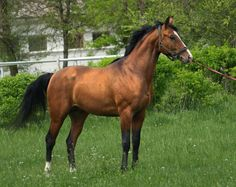 Budenny horse picture