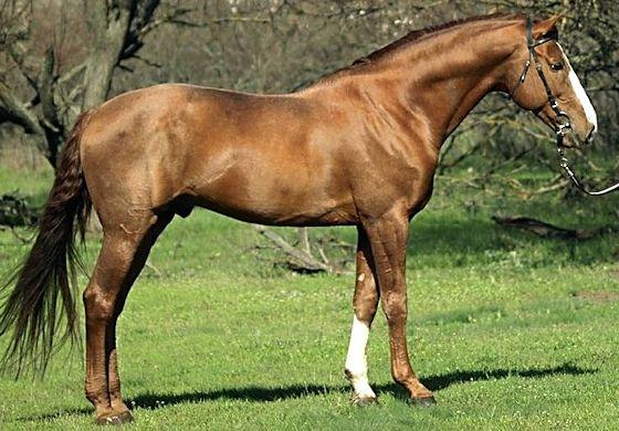 Budenny Russian sport horse