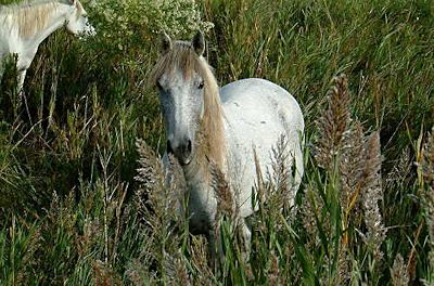 Camargue horse breed