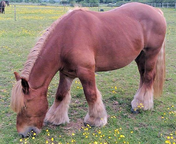 Picture of chestnut Ardennes horse