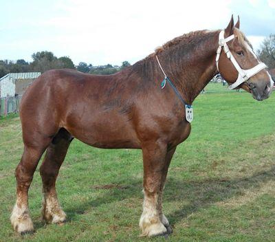 Chestnut Boulonnais horse