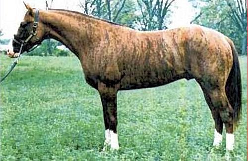 Dunbar's Gold, a chimera stallion