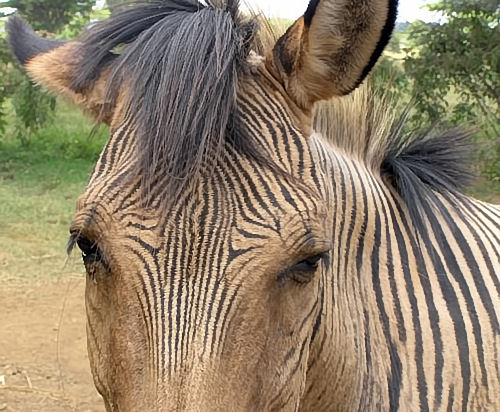 Zorse For Sale >> Zorse Hebra Zony And Zonkey Pictures And Names Half