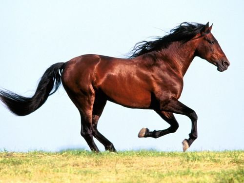 Courser type horse