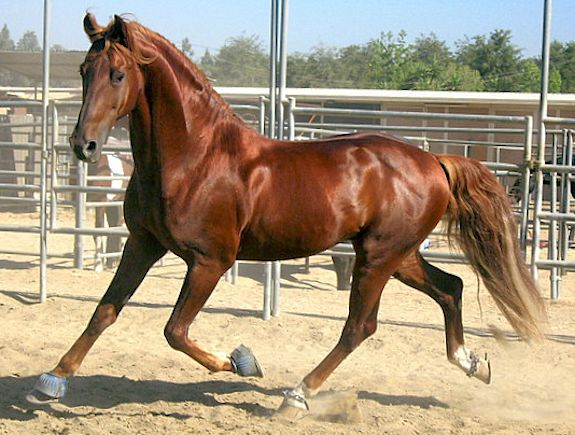 Courser horse type