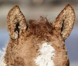Closeup of Curly Horse ears