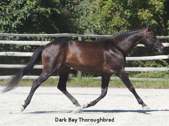 Bay thoroughbred horse