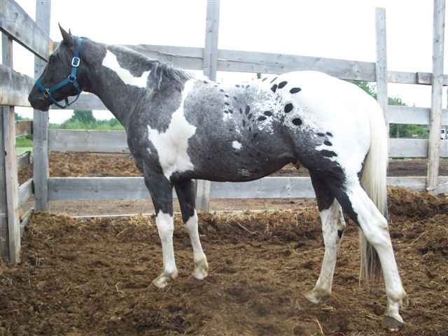 Pintaloosa Foundation Stallion SLR A Twisted Dandy Special