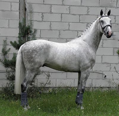 grey Wielkoplski horse