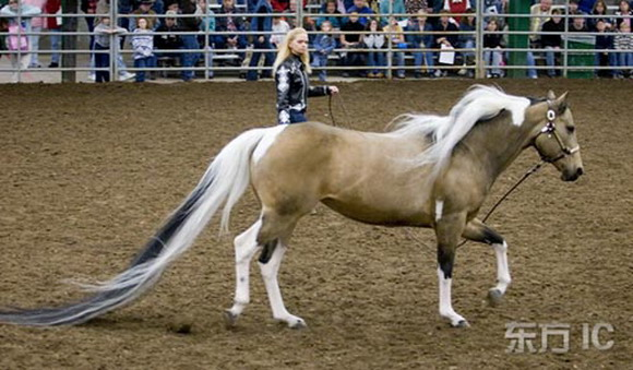 Guiness World Record for longest horse tail