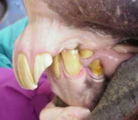 Horse with severe parrot jaw