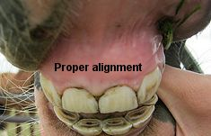 Normal alignment of horse teeth