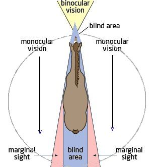 Illustration of a horse's field of vision