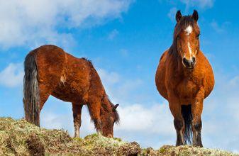 Irish Hobby Horse