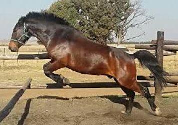 Basuto Pony
