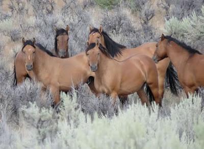 Kiger Mustangs