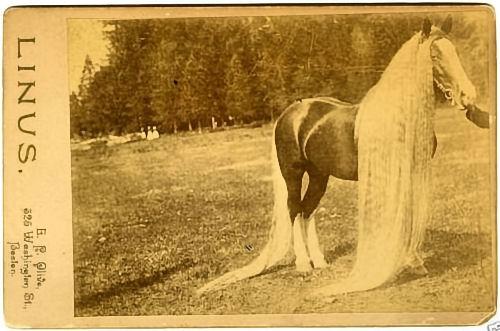 Linus II - world's longest horse mane and tail