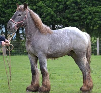 Picture of liver roan Ardennes horse
