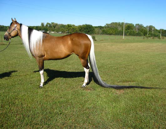 World's longest horse tail