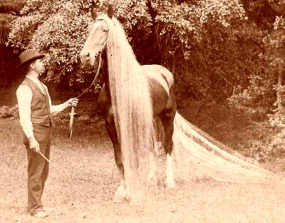 Linus II, circa 1890 with 19 foot tail and 13 foot mane on one horse