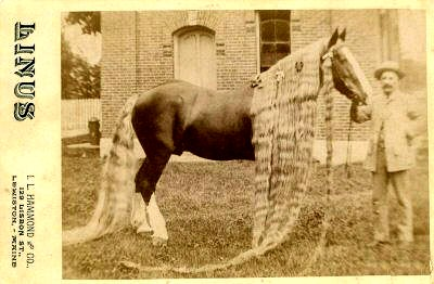 Linus II at 8 years old with 14ft mane and 10ft 3in tail