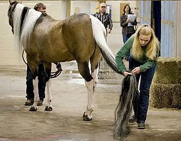 longest horse tail