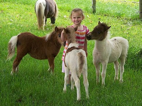 Miniature horse picture