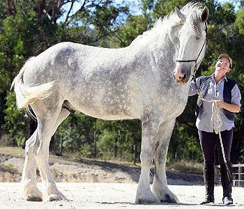 Noddy, an Australian Shire at 20.1 hands