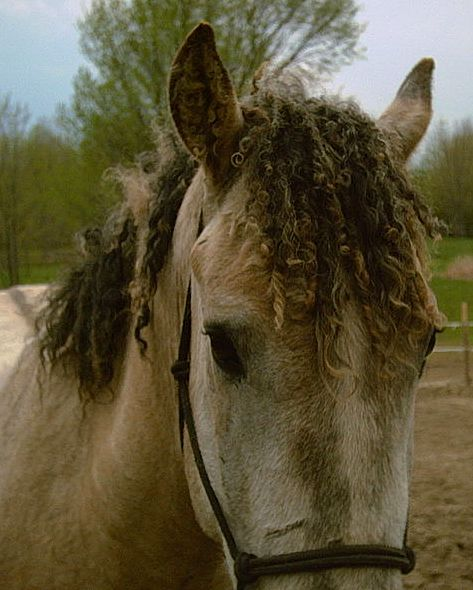 Picture of North American Curly Horse