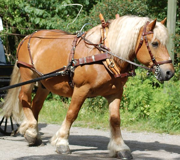 Picture of palomino Ardennes draft horse