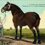 Percheron Dr. Legear was 21 hands tall