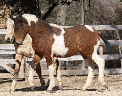 Picture of Bashkir Curlies Horse