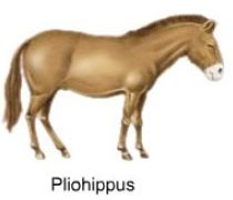 Pliohippus, a horse that lived 6 million years ago