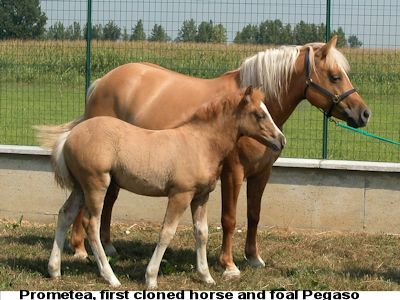 Prometea and Pegaso - first cloned horse and foal