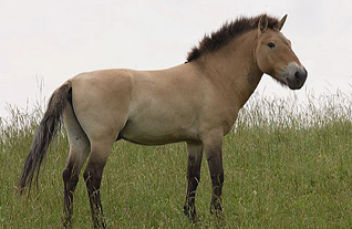Przwalski, the only remaining wild horse that has never been tamed